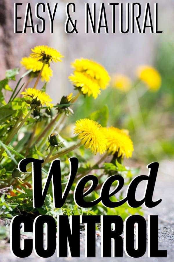 yellow dandelions: how to organically control these weeds