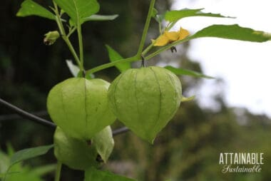 Mexican husk tomatoes growing on a plant
