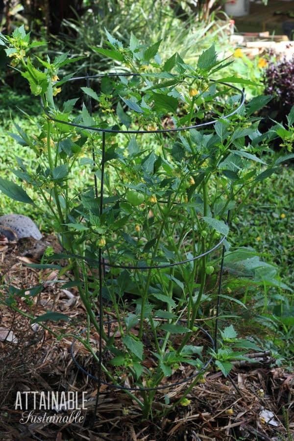tomatillo plant in a tomato cage