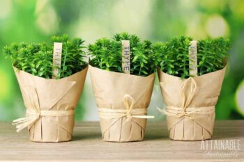 thyme plants wrapped in brown paper