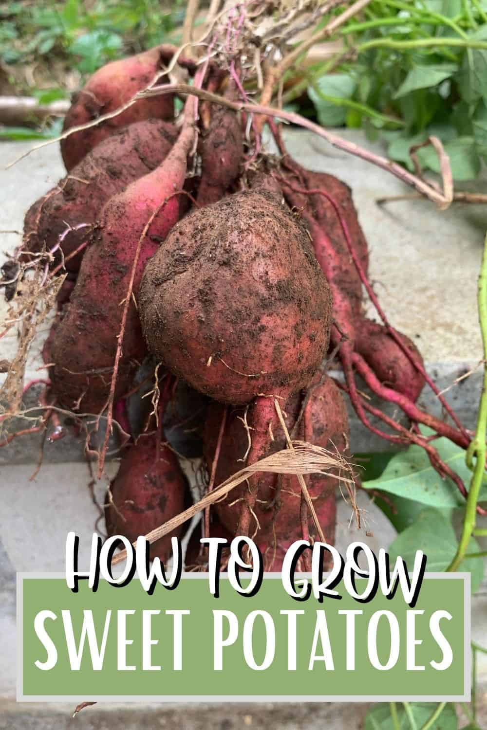 pink sweet potatoes covered in soil