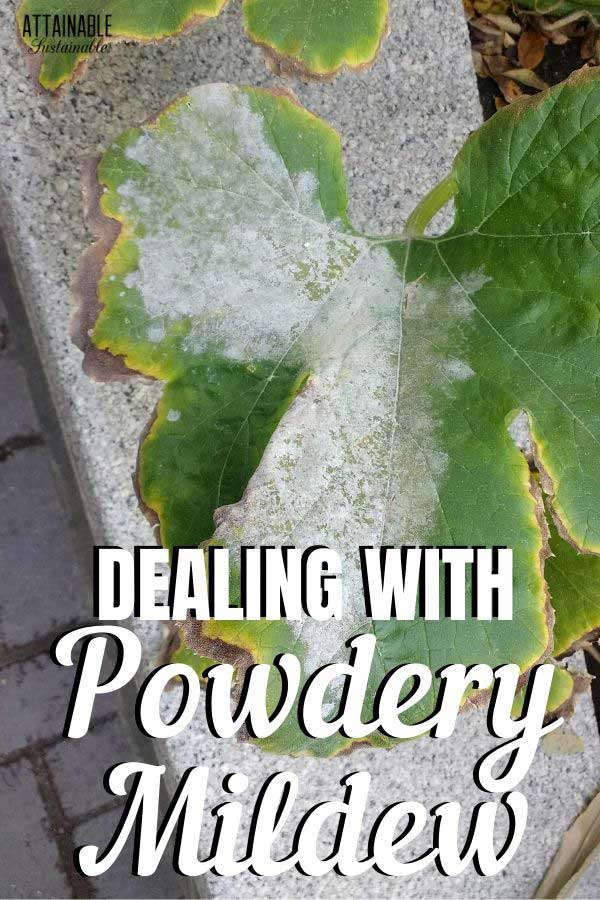 powdery mildew on squash plant