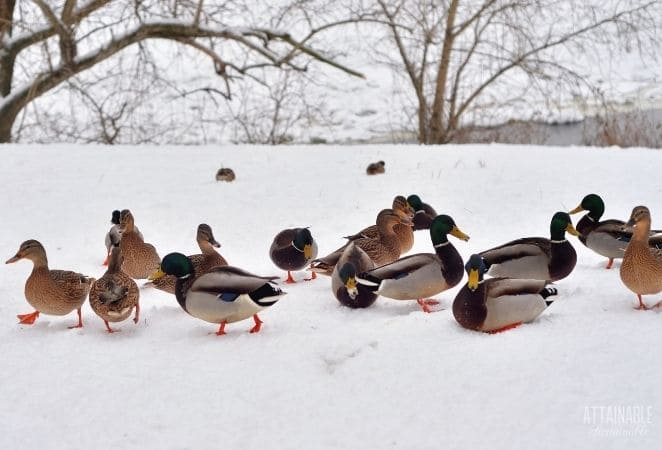 mallards on snow