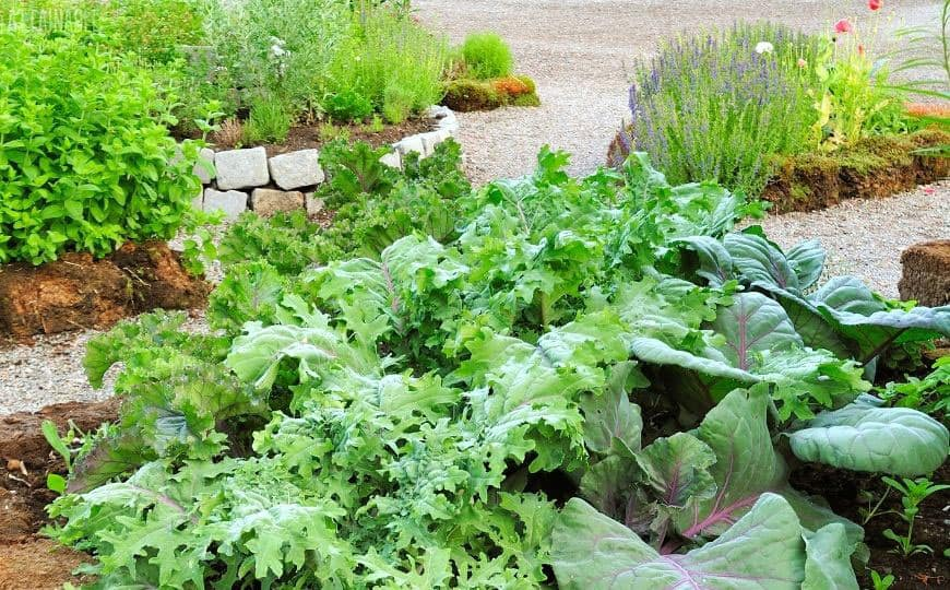 pretty garden with kale and lavender in raised beds