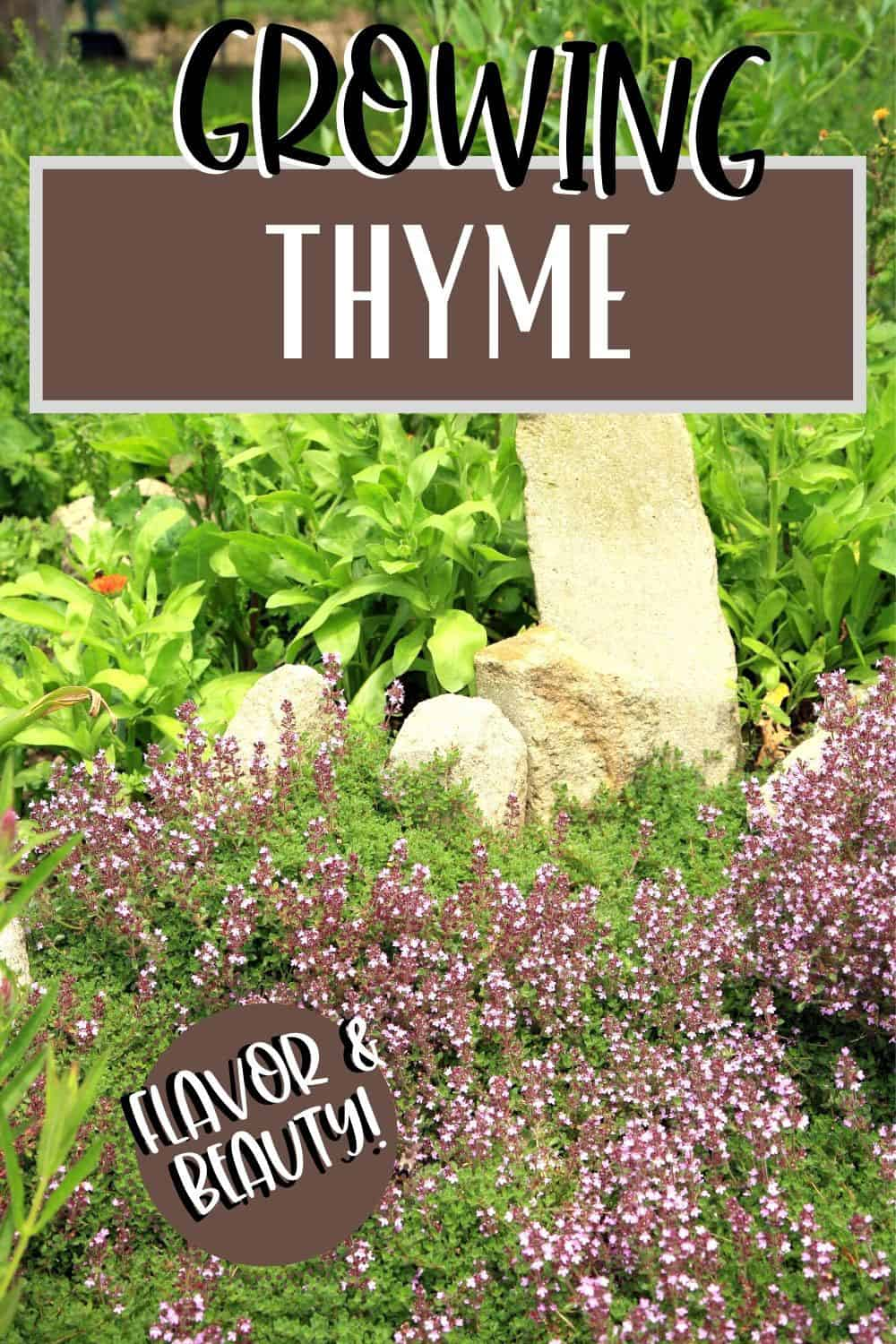 Thyme with purple flowers in a landscape