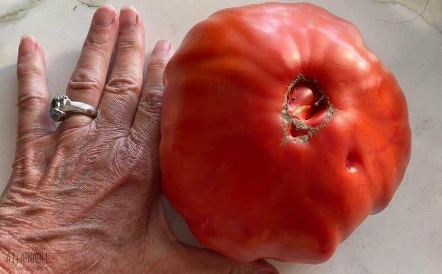 giant tomato next to an older woman's hand