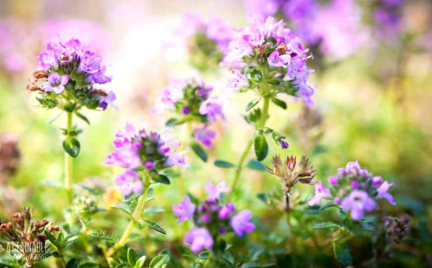 purple flowers of a thyme plant