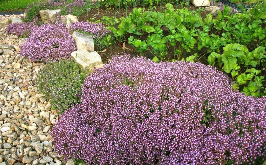 thyme plants with purple flowers in a garden