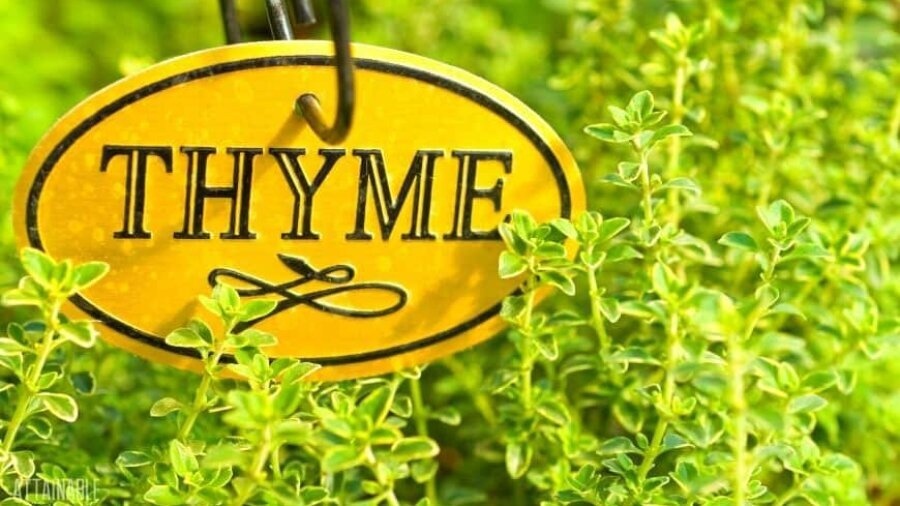 green thyme growing in a garden with an oval yellow