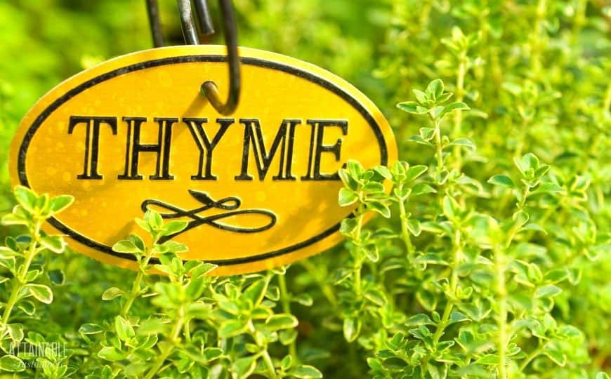 "green thyme growing in a garden with an oval yellow ""thyme"" sign"