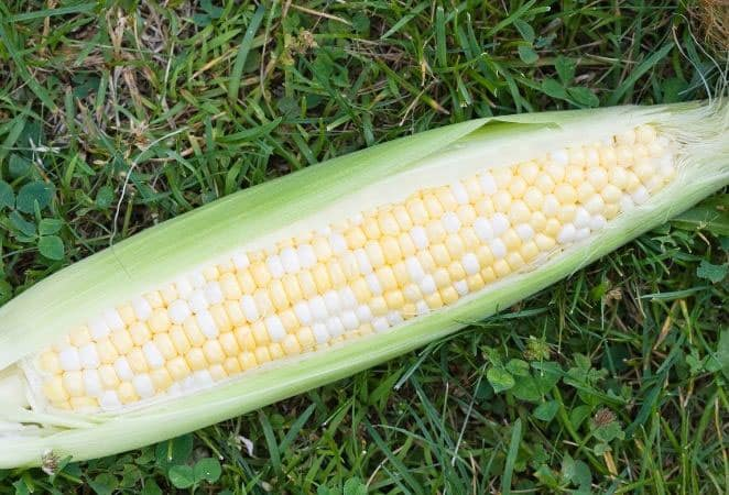 bicolor ear of corn on grass