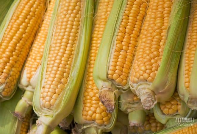 stack of yellow sweet corn