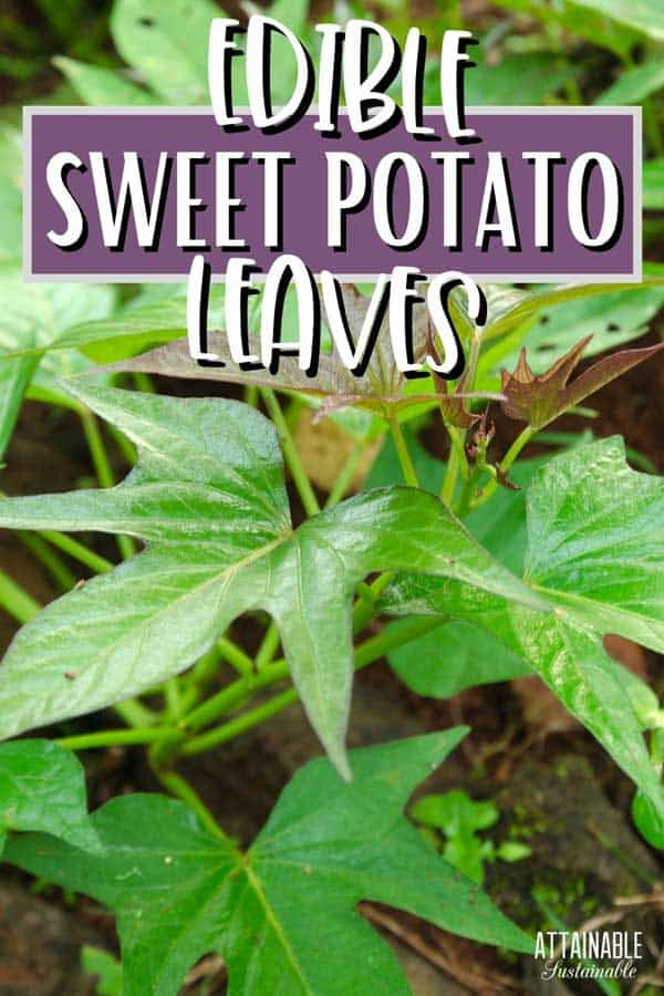 CLOSE up of sweet potato leaves