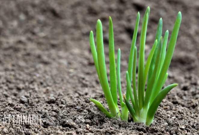 Growing Onion Plant