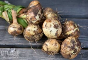 Onions with garden soil