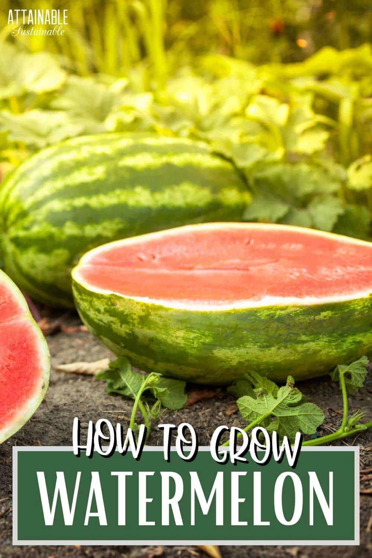 halves of watermelon in a field of plants