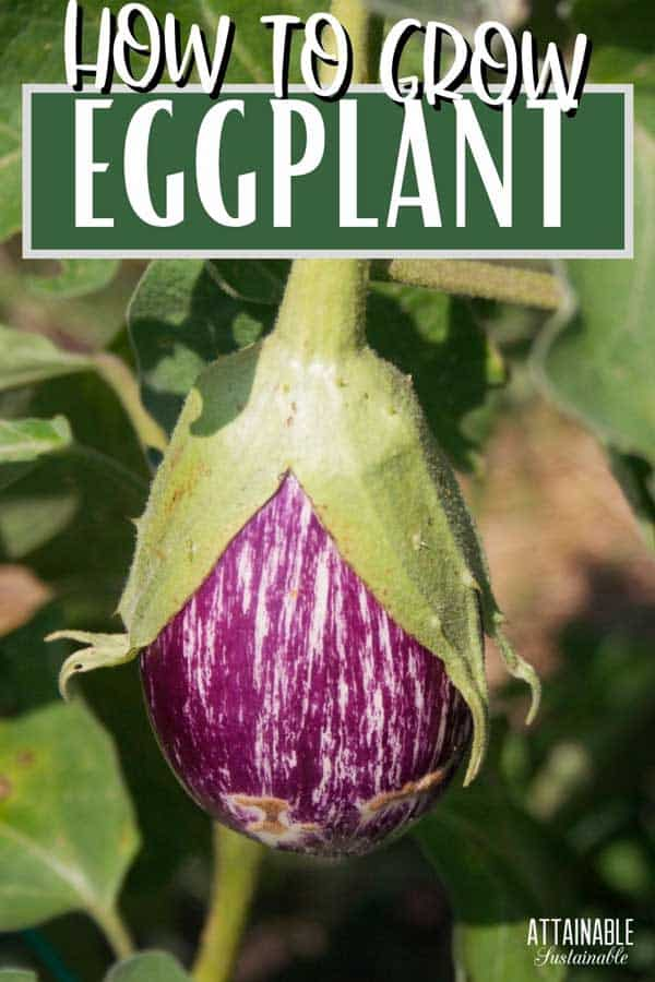 purple and white striped eggplant growing in a garden