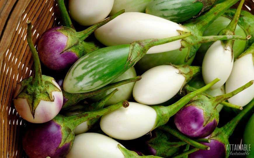 white, purple, and white eggplant