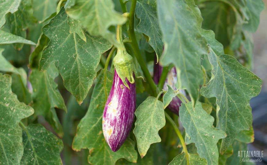 long purple and white eggplant on a bush