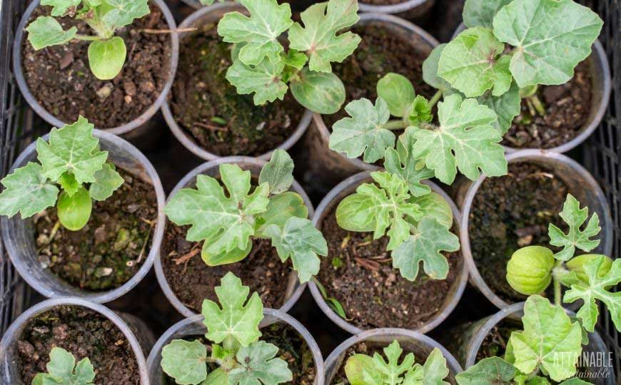 watermelon seedlings in pots from above