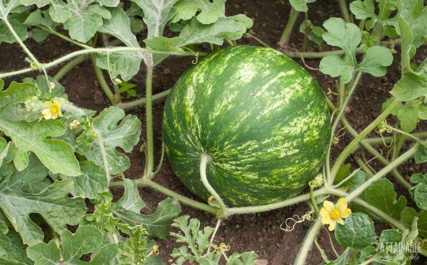 green watermelon fruit growing on vines