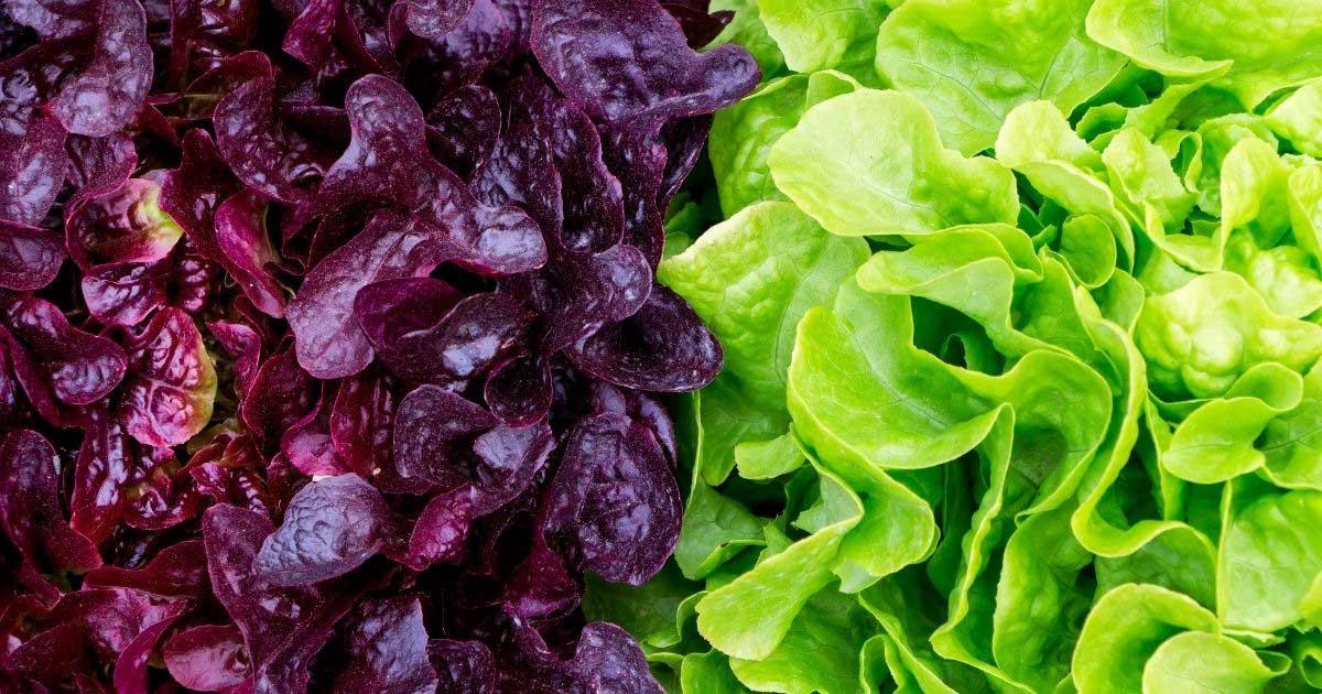 shade crops: dark purple and light green lettuce