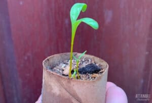 beet seedling in a container