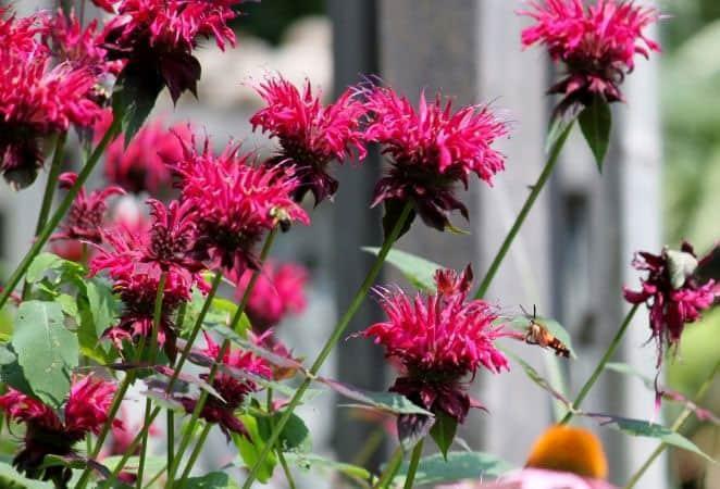 pink bee balm flowers