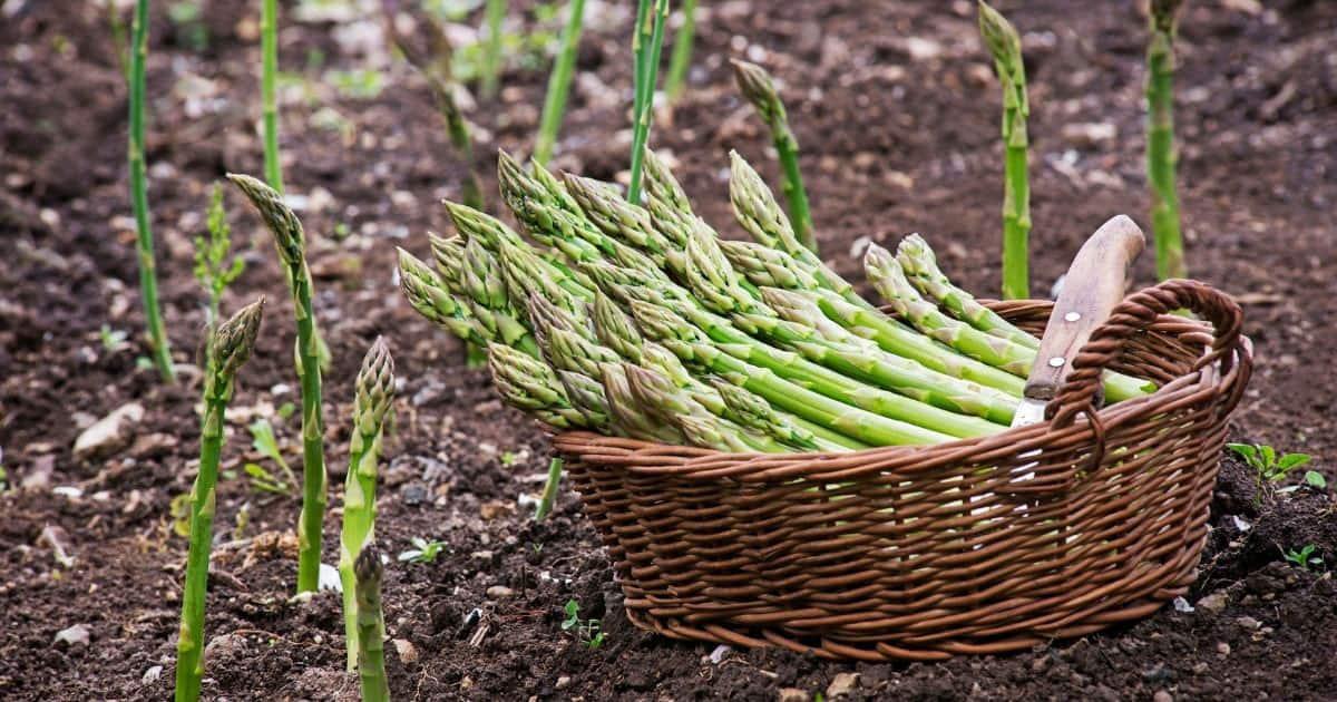 basket of freshly harvested asparagus