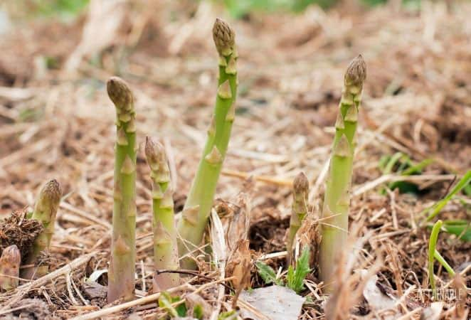asparagus spears in the ground