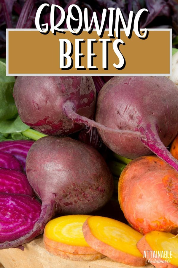 colorful fresh beets
