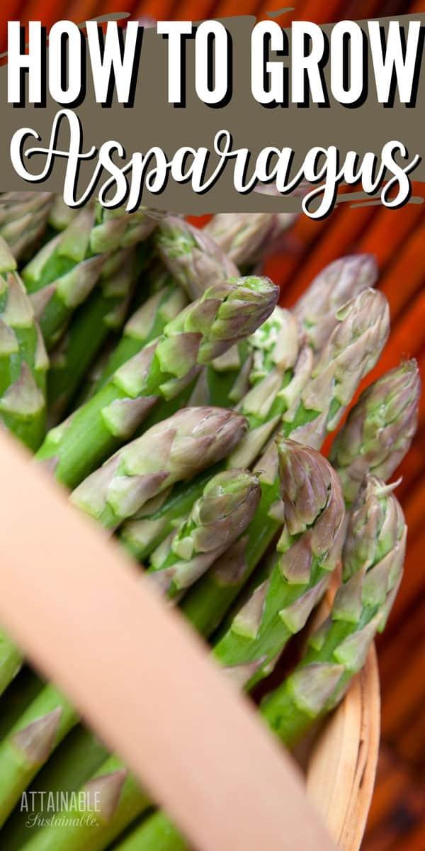 fresh asparagus spears in a bakset