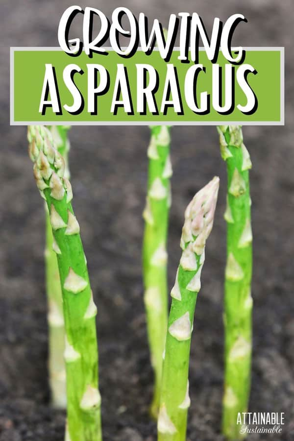 asparagus spears poking from the ground