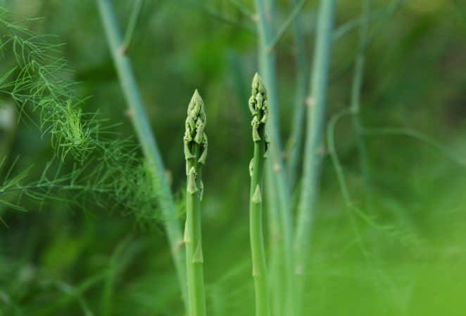 new asparagus spears