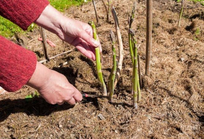 hands harvesting asparagus spears
