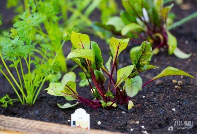growing young beet seedlings