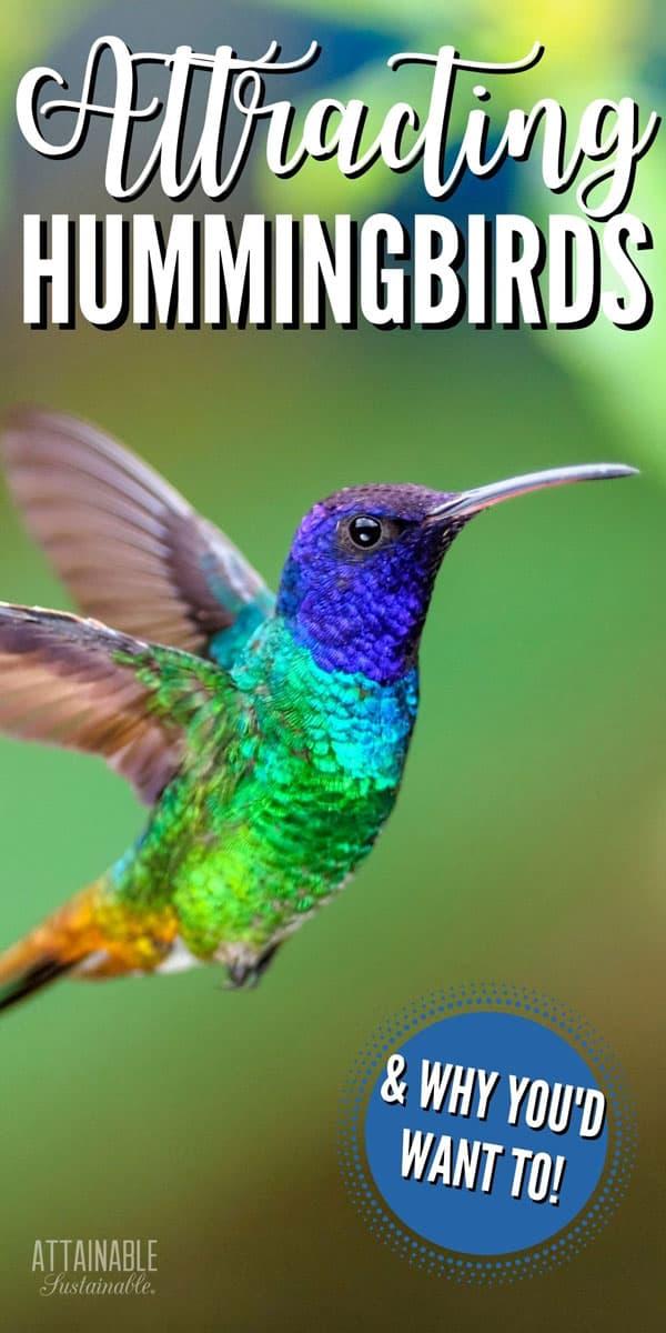 flying hummingbird with blue head