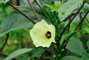 yellow okra flower on a green plant