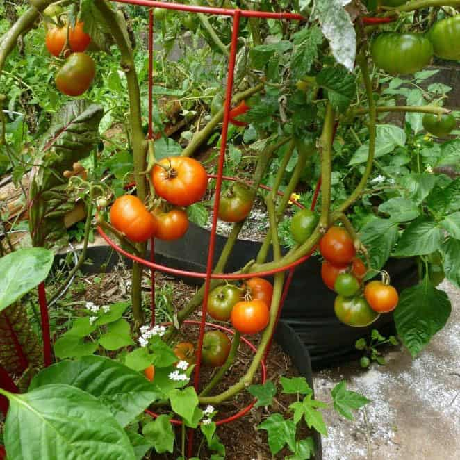 ripe tomatoes on a vine in a container garden