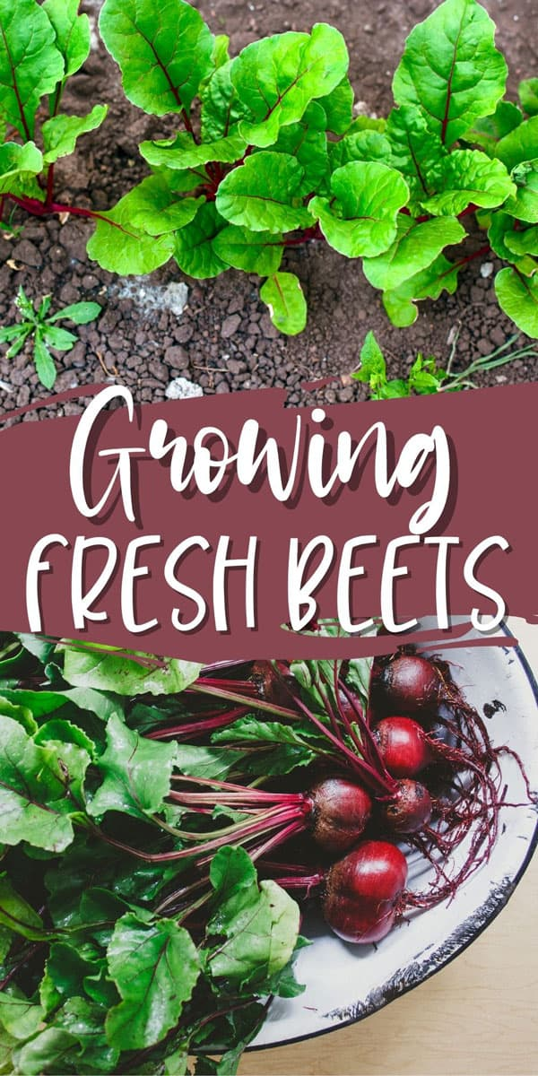 fresh beets growing in the garden and freshly harvested in a white bowl