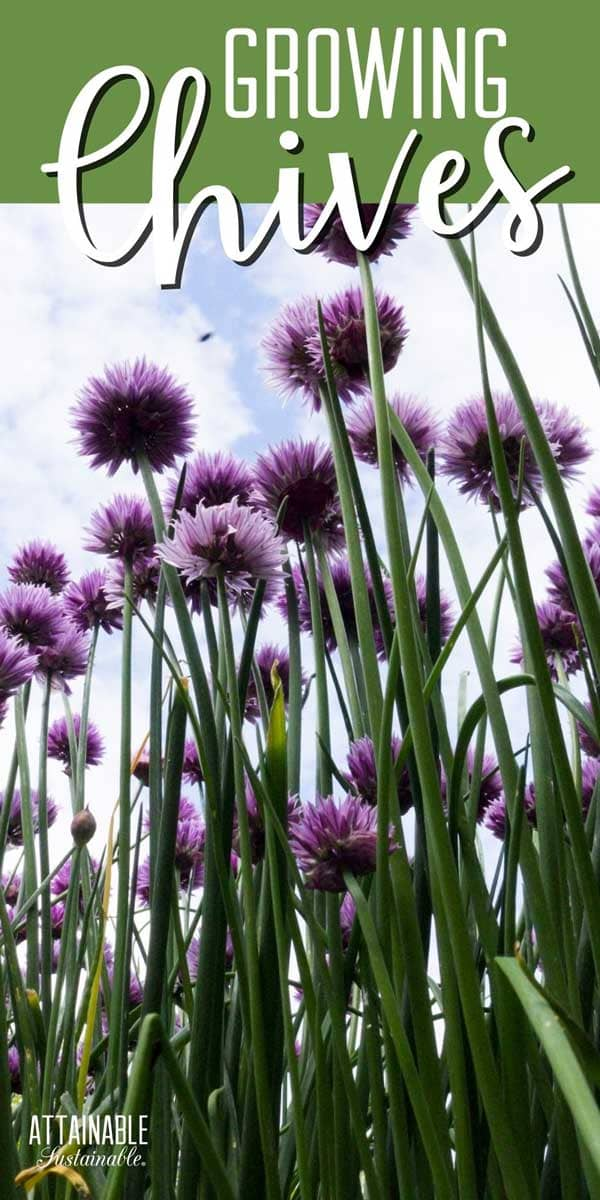 chive blossoms on a blue sky backdrop