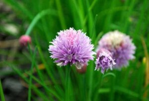 close up of light purple chive flower