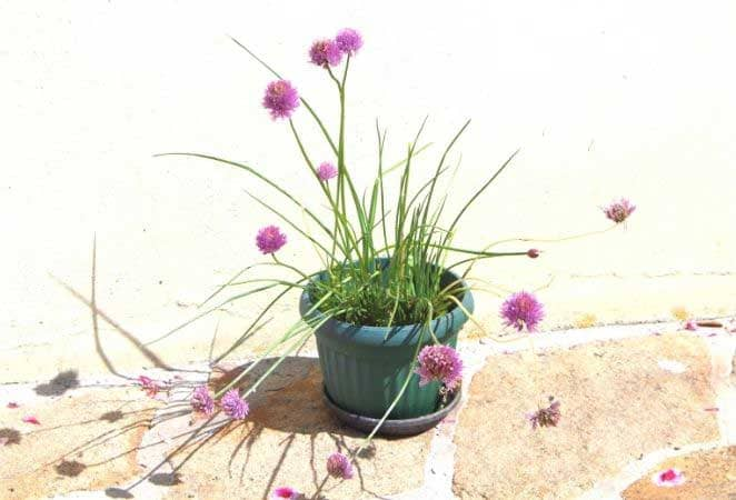 chive plant with blossoms in a blue pot