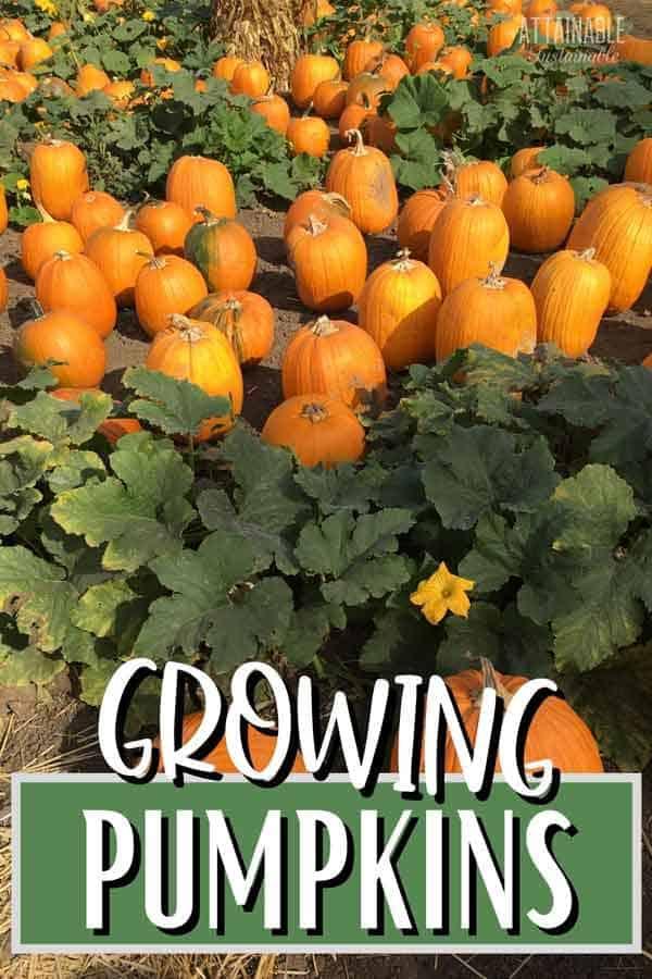 lots of orange pumpkins in a field