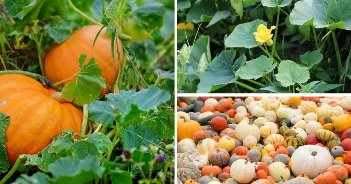 3-panel collage showing pumpkins growing