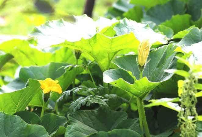 pumpkin vine with yellow flowers