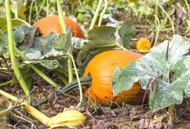 ripe pumpkin on a vine