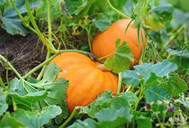 2 orange pumpkins on the vine
