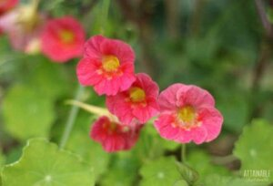 salmon colored nasturtium flowers on a plant