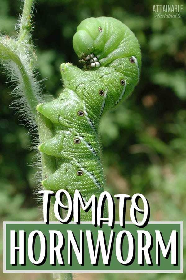green caterpillar holding onto a plant stem